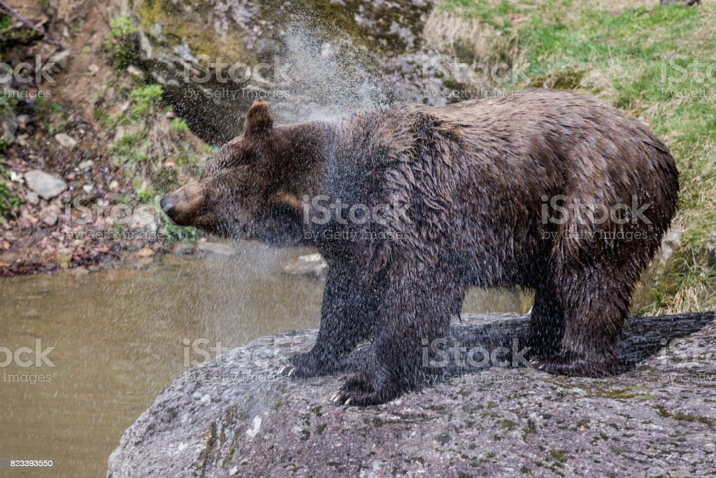 Big brown bear standing on rock and shaking water. . Close-up view of...