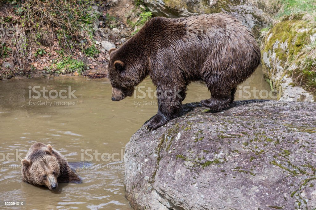 Big brown bear standing on rock and shaking water. . Close-up view of the bears in the lake. Portrait of a brown bear. Brown bear. stock photo