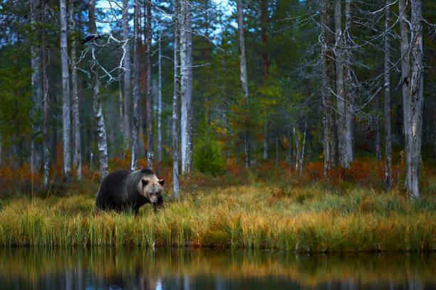 Big brown Brown bear (Ursus arctos) from Finland. Beautiful brown bear walking around lake with autumn colours. stock photo
