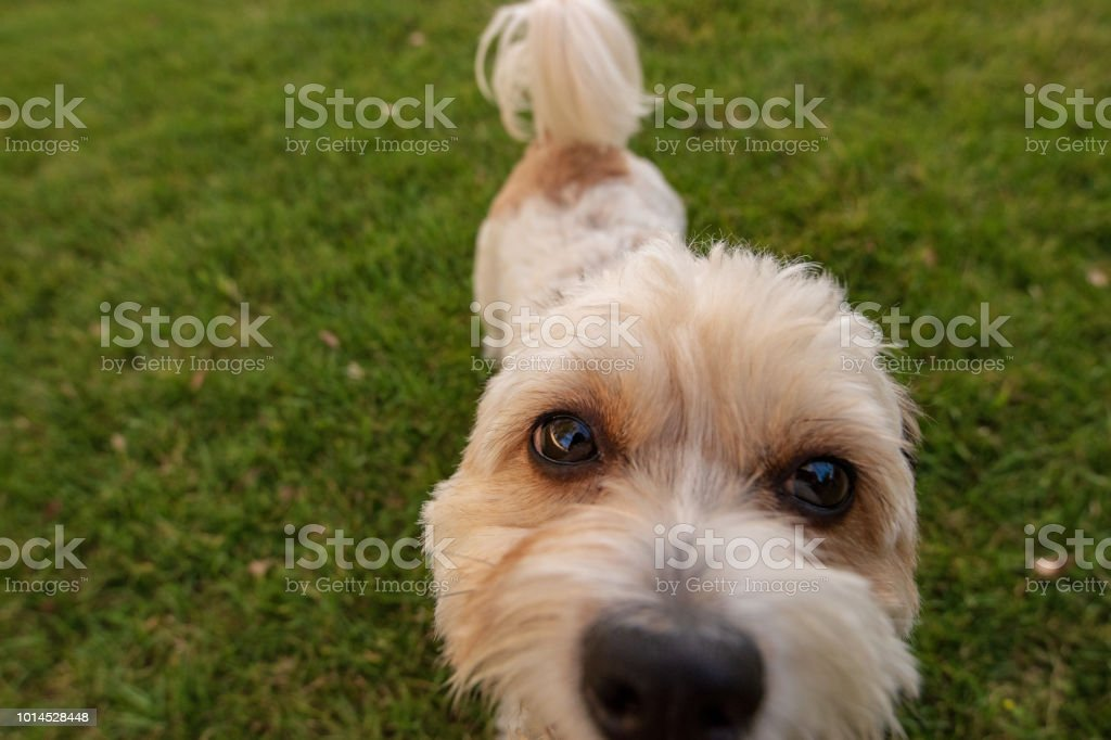 Big brown eyed puppy close up stock photo