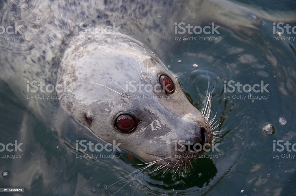 Big brown eyes. A harbour seal looks at the camera Lizenzfreies stock-foto