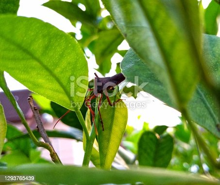 A big brown ladybug relaxing on the orange leaf