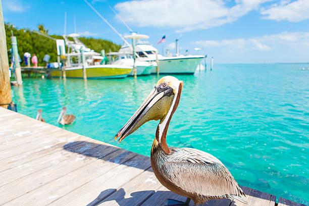 крупный коричневый пеликаны в исламорада, флорида-кис - пеликан стоковые фото и изображения