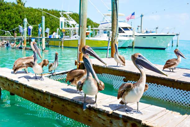 Groß braune Pelikane in der