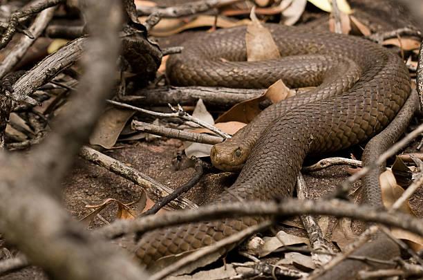 big brown snake - oost stockfoto's en -beelden