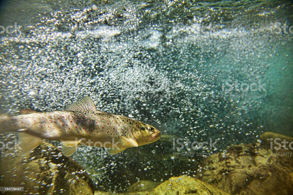 Big brown trout swimming in the water stock photo