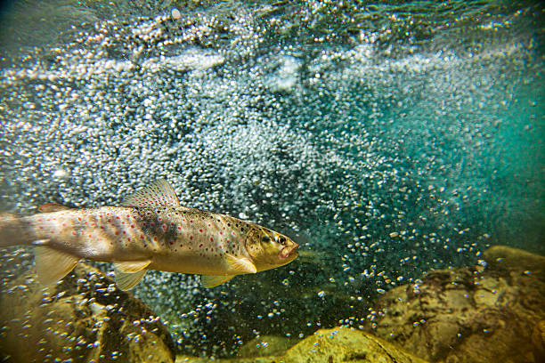 Big brown trout swimming in the water Single trout swimming in blue, green   water in stream or lake with water bubbles salmonidae stock pictures, royalty-free photos & images