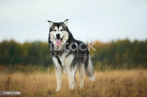 Portrait of a big white gray purebred Alaskan Malamute dog standing on the empty meadow looking aside Dog put tongue out with. Blue bright cloudy sky, grass and trees background
