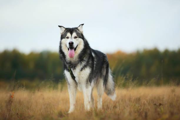 Alaskan Malamute Gigante - Banco de fotos e imágenes de stock - iStock