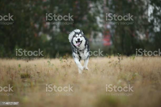 Big brown white purebred majestic alaskan alaska malamute dog walking picture id1146121357?b=1&k=6&m=1146121357&s=612x612&h=eshsgdzdunixowegutx988qe8u3peajljcqaxvkpjbo=