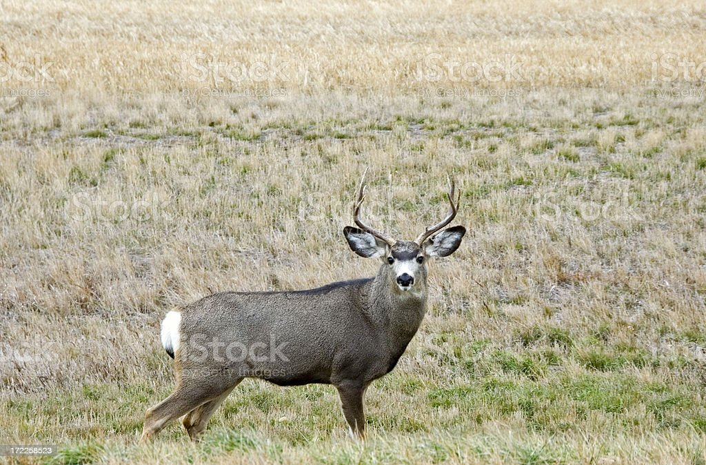 Big Buck royalty-free stock photo