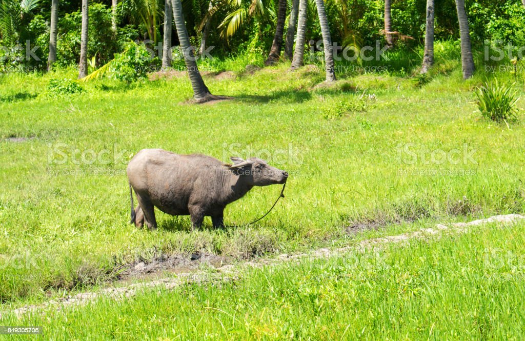 Big buffalo on green grass pasture. Asian agriculture travel photo. Carabao farm animal in Philippines. stock photo