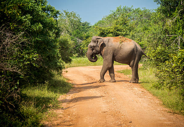 Big bull asian elephant crosses road Photo of the Big bull asian elephant crosses road yala stock pictures, royalty-free photos & images