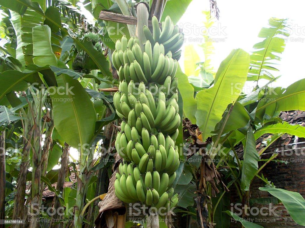 big bunch of banana fruit stock photo