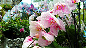 Amazing beautiful big bunch of tropical blooming blue, white and pink orchid in the flower orangery and greenhouse with stream on the background. Nature floristic bouquet, macro.