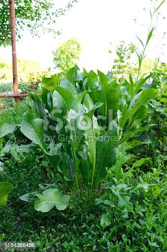 A big bush horseradish. Green horseradish leaves in the garden.