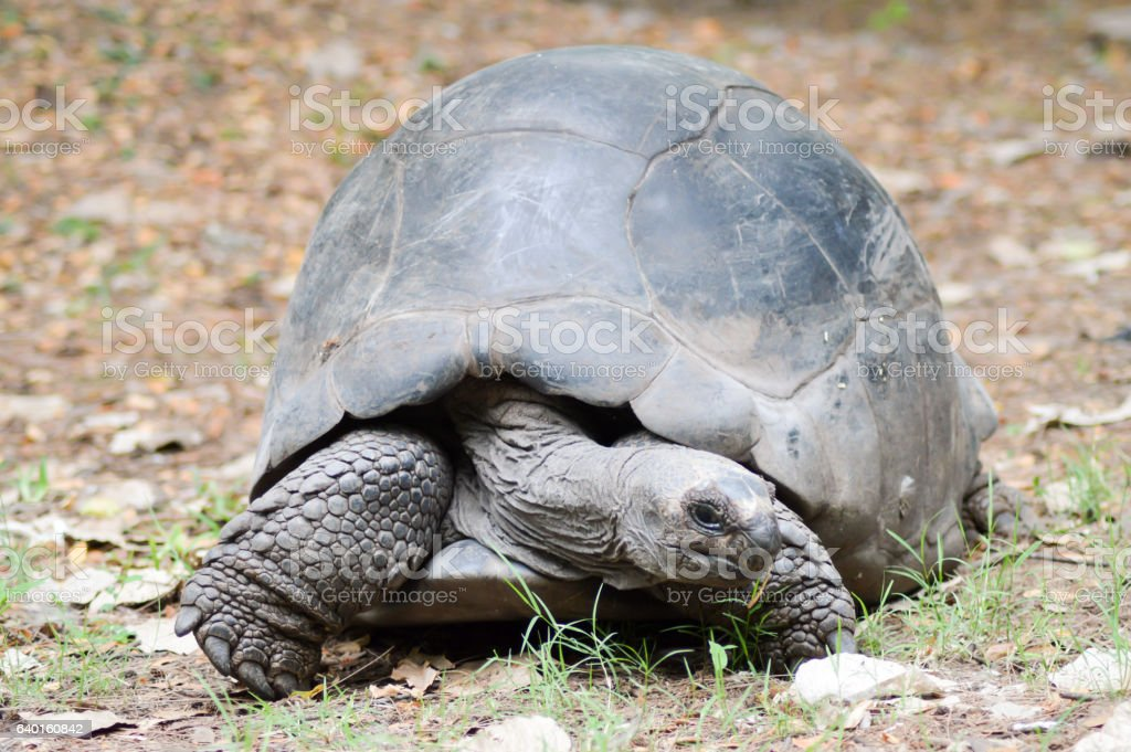 Big busy land turtle stock photo
