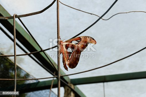 istock Big butterfly, Giant Atlas Moth or Attacus atlas 858966938