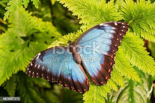 Big Butterfly Blue Morpho, Morpho peleides, sitting on green leaves