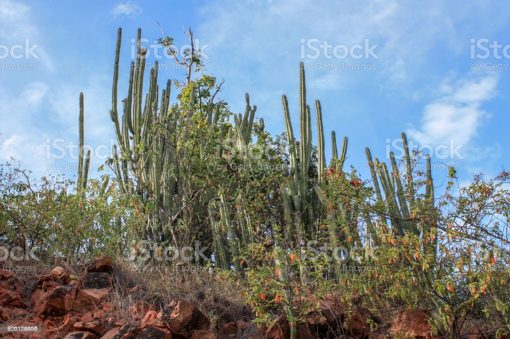 big cactus plants near sea stock photo