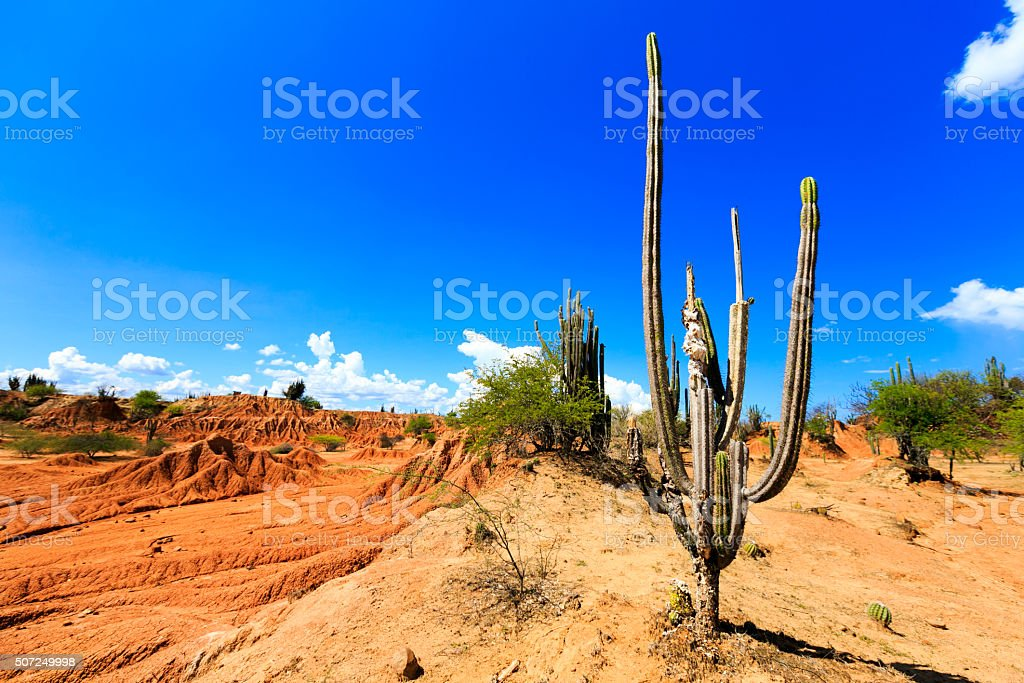 big cactuses in a red desert stock photo