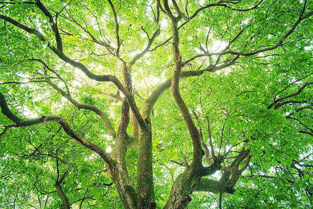Big camphor tree. Big camphor tree. The trees of fresh green in the forest. Image of an ecology. chlorophyll stock pictures, royalty-free photos & images