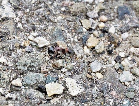 A big Camponotus ligniperda ant on grey stones