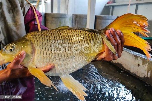 istock Big carp in hands of man. Fish farming in the nursery. 1192108150