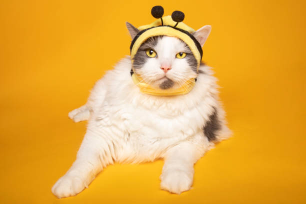 Big Cat Dressed As Bumblebee A big kitty dressed in a bumblebee hat. sdominick stock pictures, royalty-free photos & images