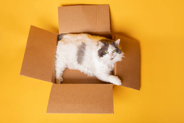 Big Cat in a Box Isolated on Yellow A big fluffy white and gray long hair cat laying in a box isolated on a yellow background. sdominick stock pictures, royalty-free photos & images