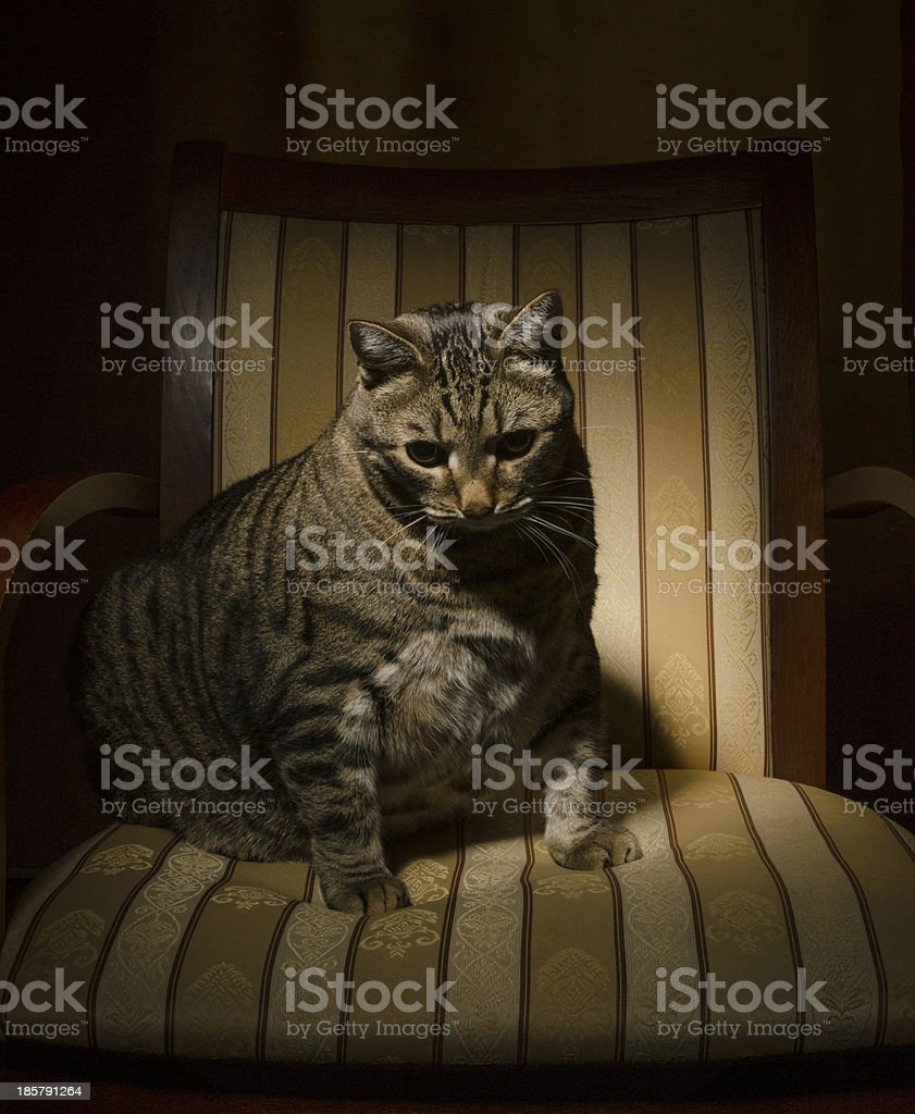 Big cat on chair royalty-free stock photo
