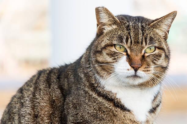 Big cat picture id483426531?b=1&k=6&m=483426531&s=612x612&w=0&h=67z ptjzzapgtluh46 vbzh2caculjn4p7gupb34qls=
