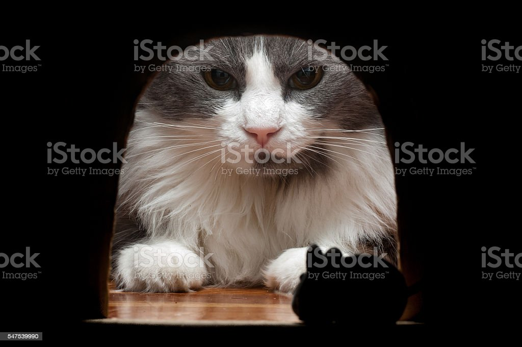 Big cat waiting for the mouse to come out. stock photo