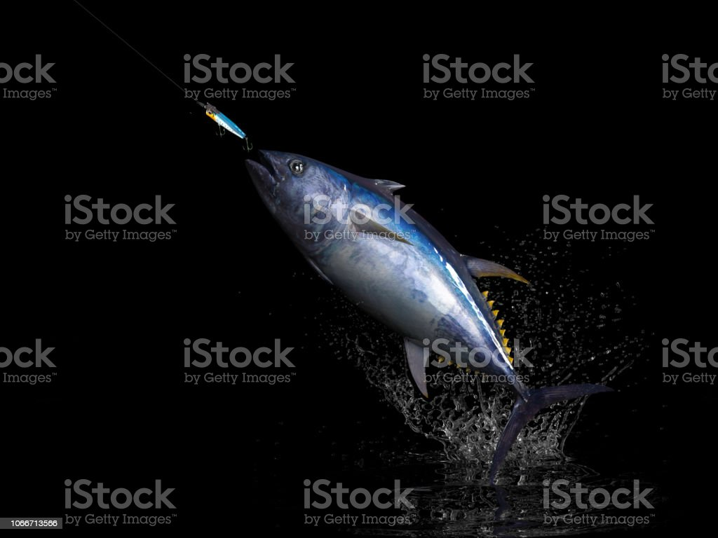 Big Catch Of Yellowtail Tuna Fish In Black Background With