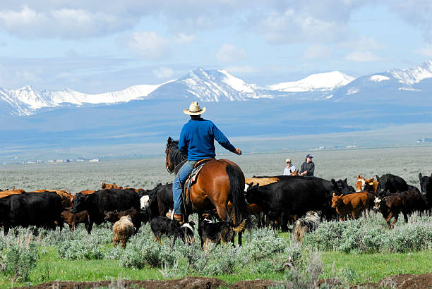 big cattle drive - montana western usa stock pictures, royalty-free photos & images