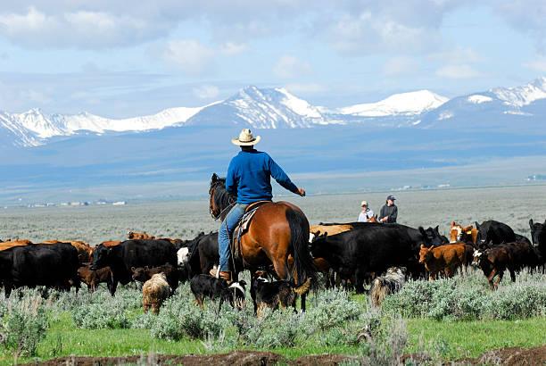 Big Cattle Drive stock photo