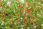 big high cherries tree with branches covered with sweet red and orange berries and green leaves