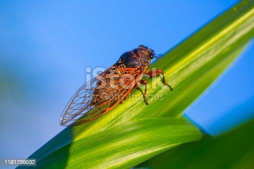 big cicada sit on the green corn leaf