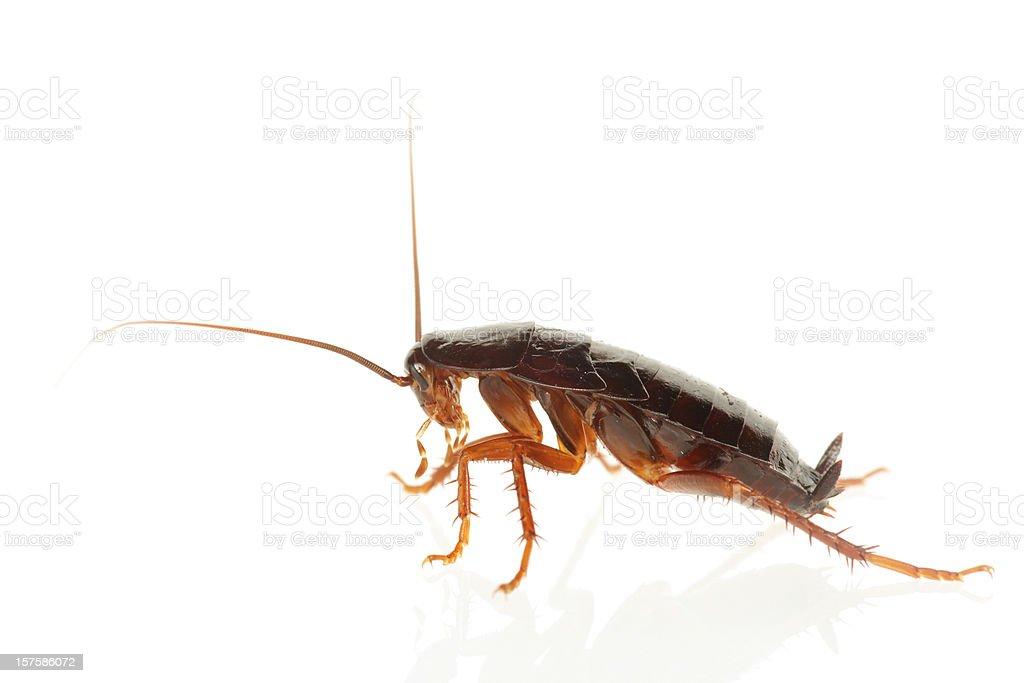 Big Cockroach (XXXL) royalty-free stock photo