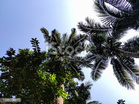 1146115746 istock photo Big coconut trees low-angle shot in the daytime in india. 1255208512