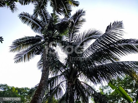 1146115746 istock photo Big coconut trees low-angle shot in the daytime in india. 1255211420