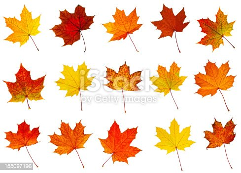 big collection of  a perfect autumnal leaf, displaying a range of warm tones. Over white.