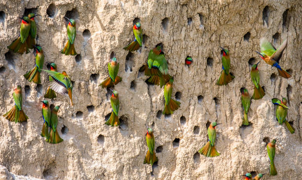 Big colony of the Bee-eaters in their burrows on a clay wall. Africa. Uganda. stock photo