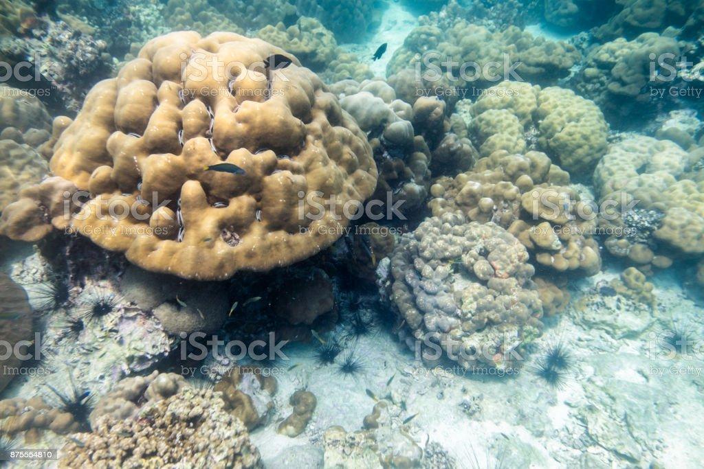 Colonia Gran Arrecife De Coral Con Peces En El Mar De Lipe - Stock ...