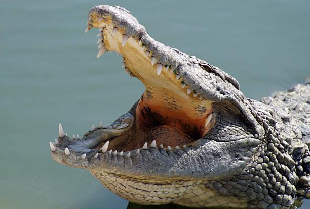 big corcodile - dents des animaux photos et images de collection