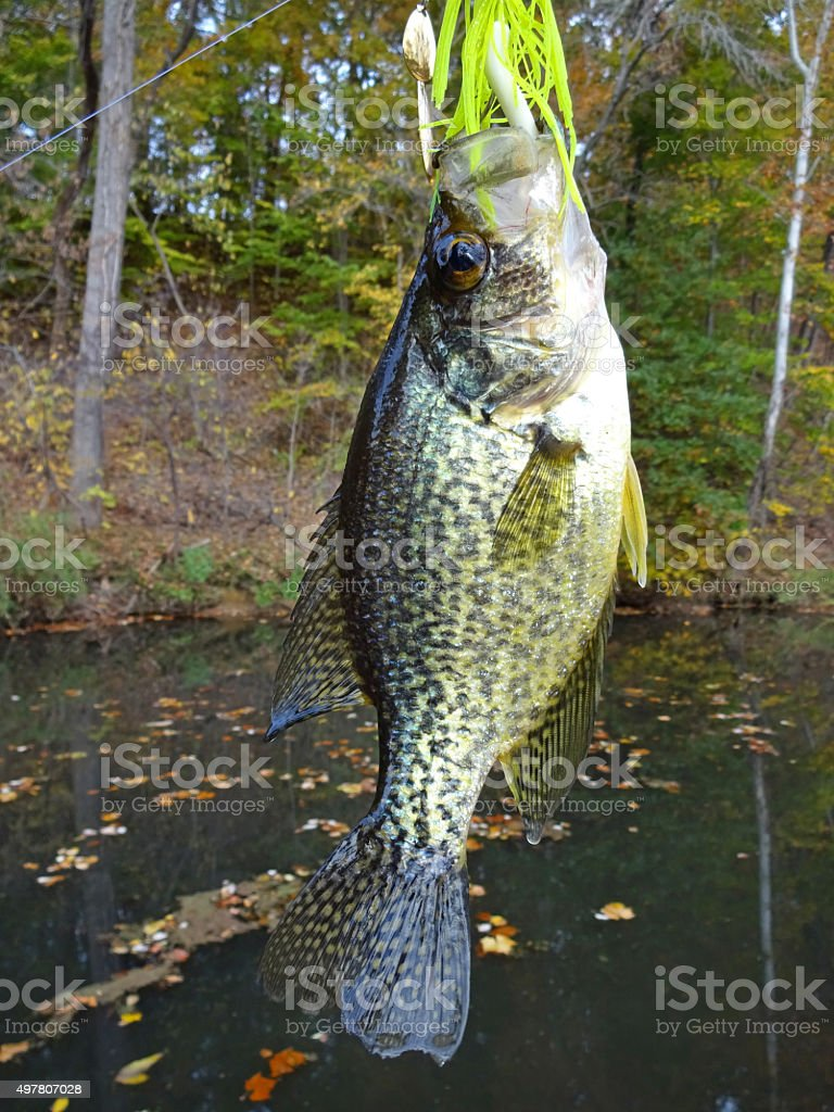 Big Crappie on the Spinnerbait stock photo
