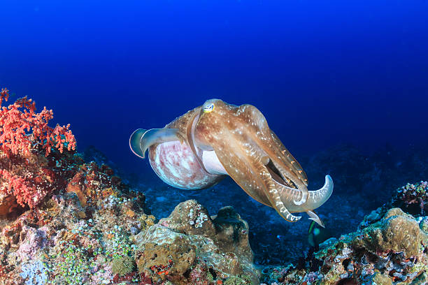 Big Cuttlefish. Large Cuttlefish on a coral reef cuttlefish stock pictures, royalty-free photos & images