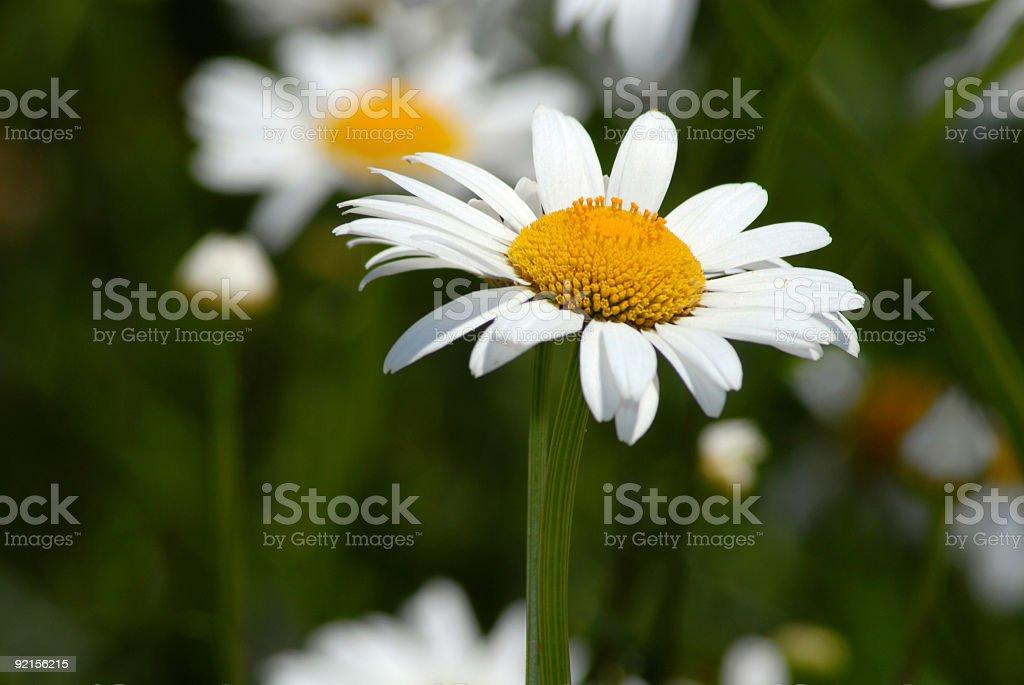 Big Daisy royalty-free stock photo