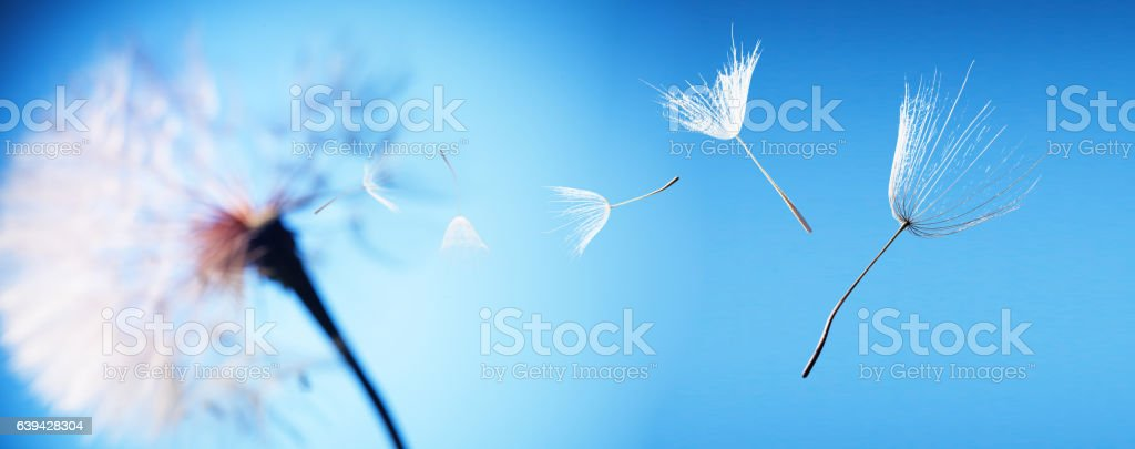 big dandelion on a blue background stock photo