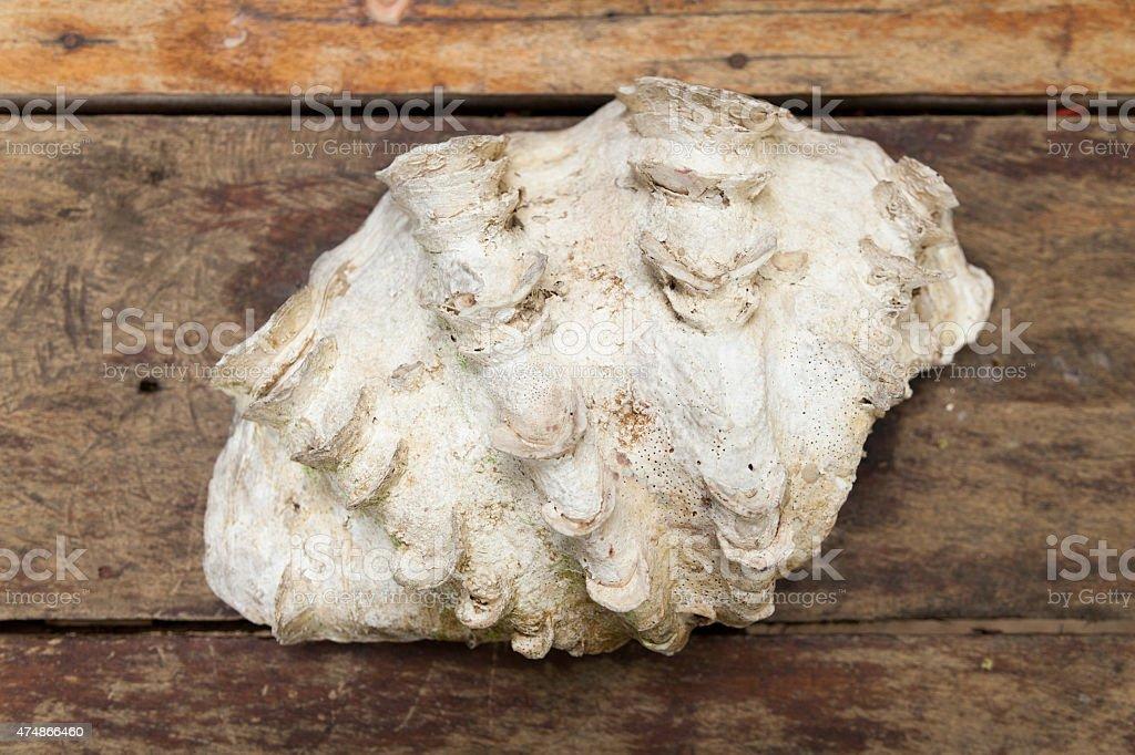big Dekorative shell – Foto
